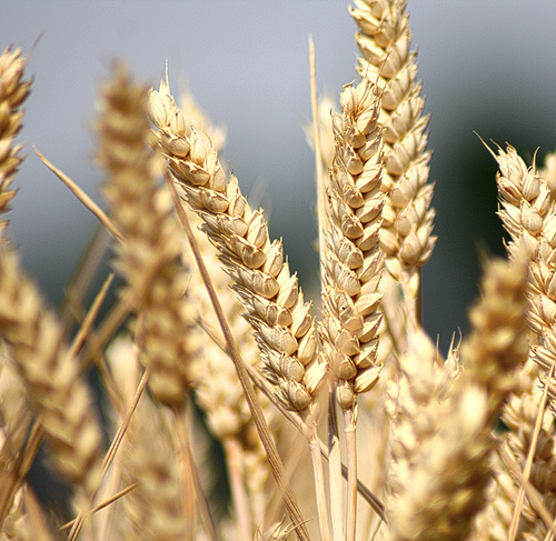 parable wheat